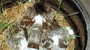 Ceriale Avvelenamenti Uccelli