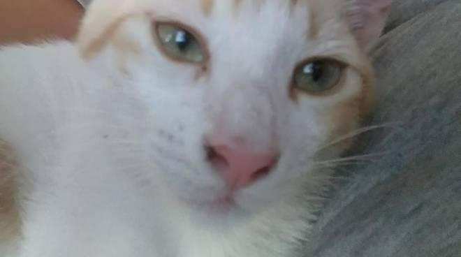 gattino miu