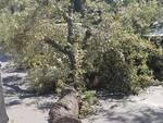 Albero Caduto Viale Rimembranze Loano