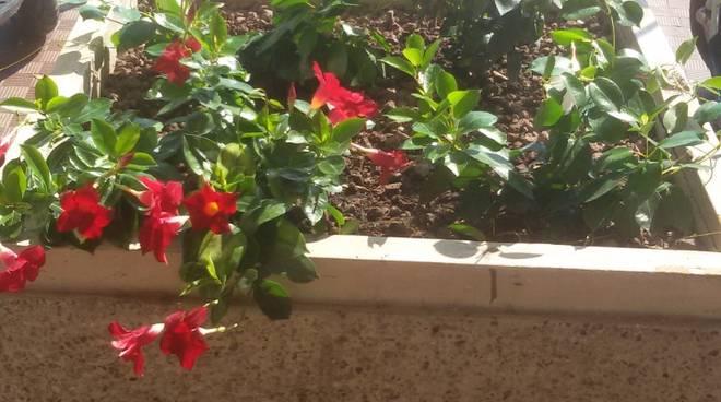 piantine fioriere silvestro