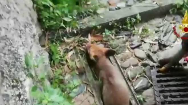 salvataggio volpe
