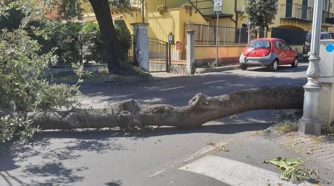 Albero Caduto Viale Rimembranza Loano