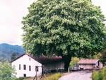 albero monumentale Bormida