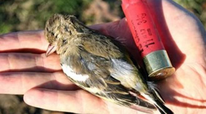 uccellino proiettile cartuccia caccia
