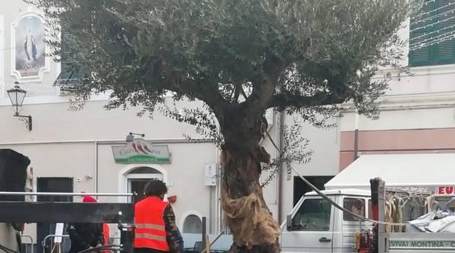 Loano, in pizza Massena trova dimora un ulivo secolare