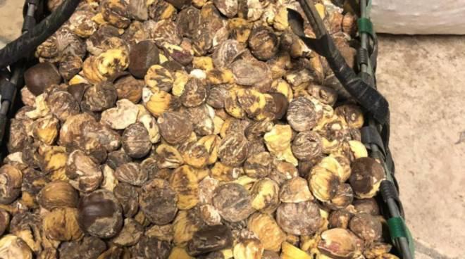 raccolto castagne