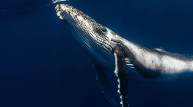balena, capidoglio, pelagus santuario dei cetacei © John Van Den Hende