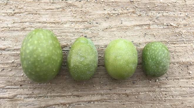 Corso coltivazione e potatura olivo a Ranzi (Olio Pedro)
