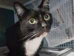 Gatto Nero e bianco Enpa 2