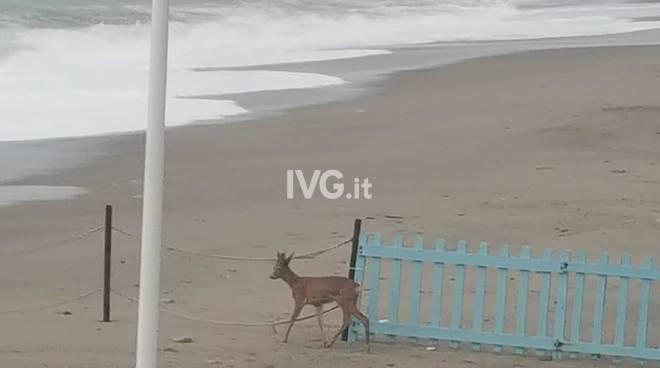Daino Finale Ligure spiaggia Marc