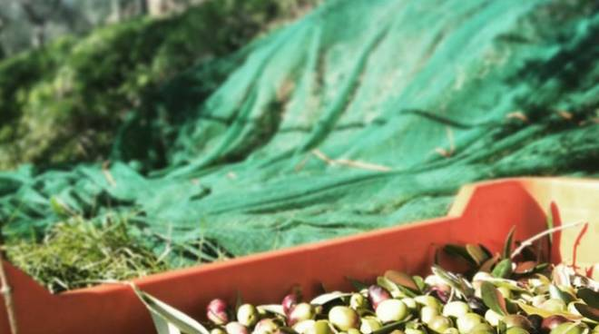 azienda olivicola canaiella