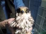 Falco Enpa