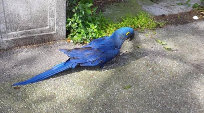 pappagallo ara giacinto