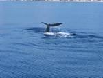 Spettacolare avvistamento di una balena nel savonese