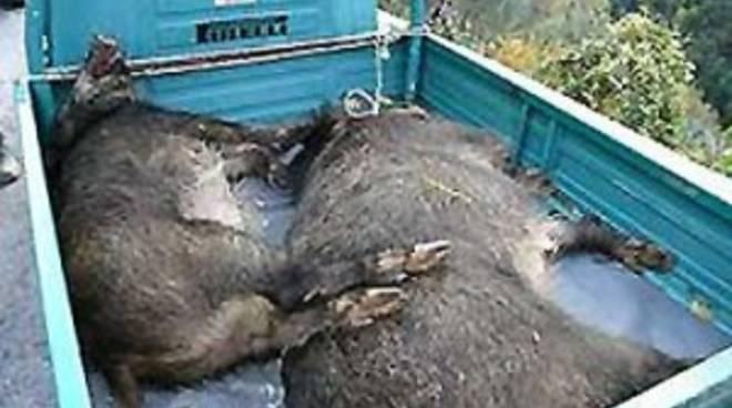 Cinghiali morti Enpa