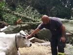 mucca alpicella