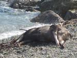cinghiale morto affogato spiaggiato