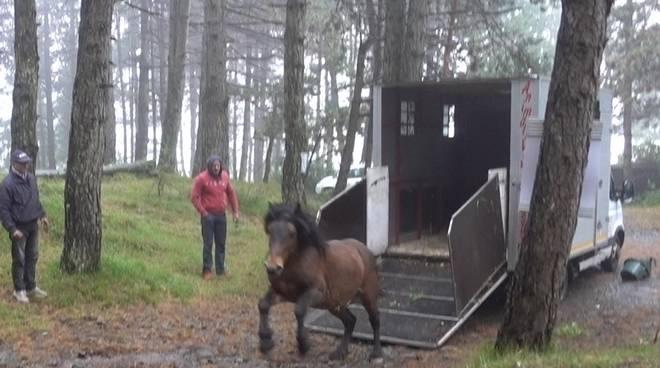 cavallo selvatico aveto stallone liberato