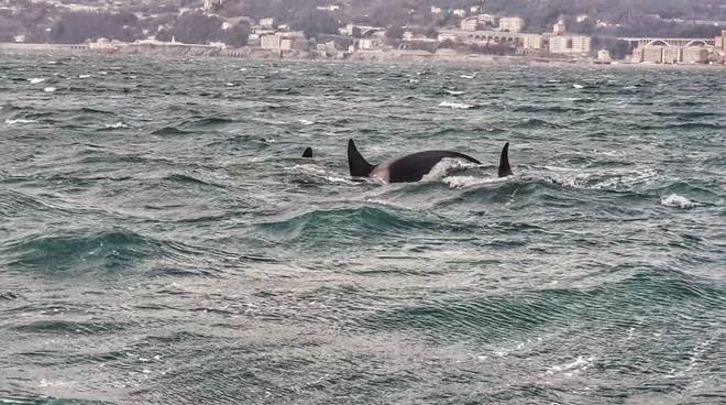 Orche a Voltri nuove