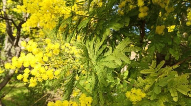 Mimosa Liguria Coldiretti