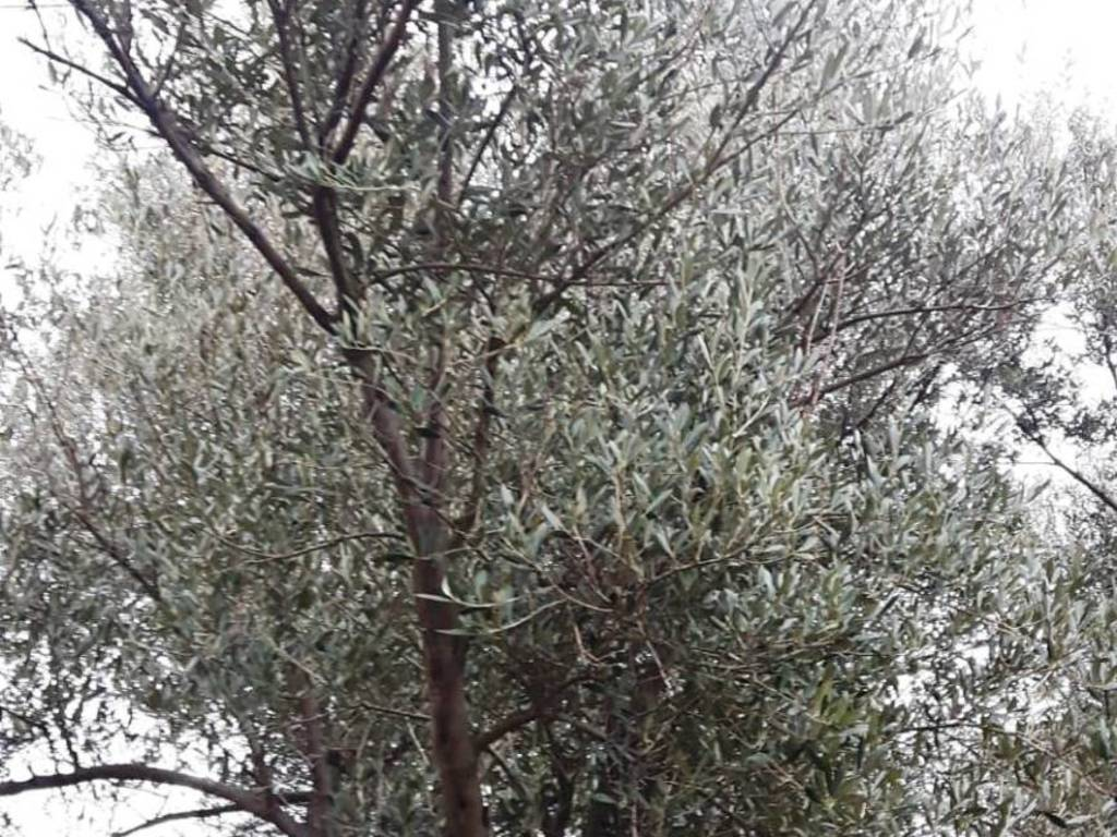 olivo levante savona