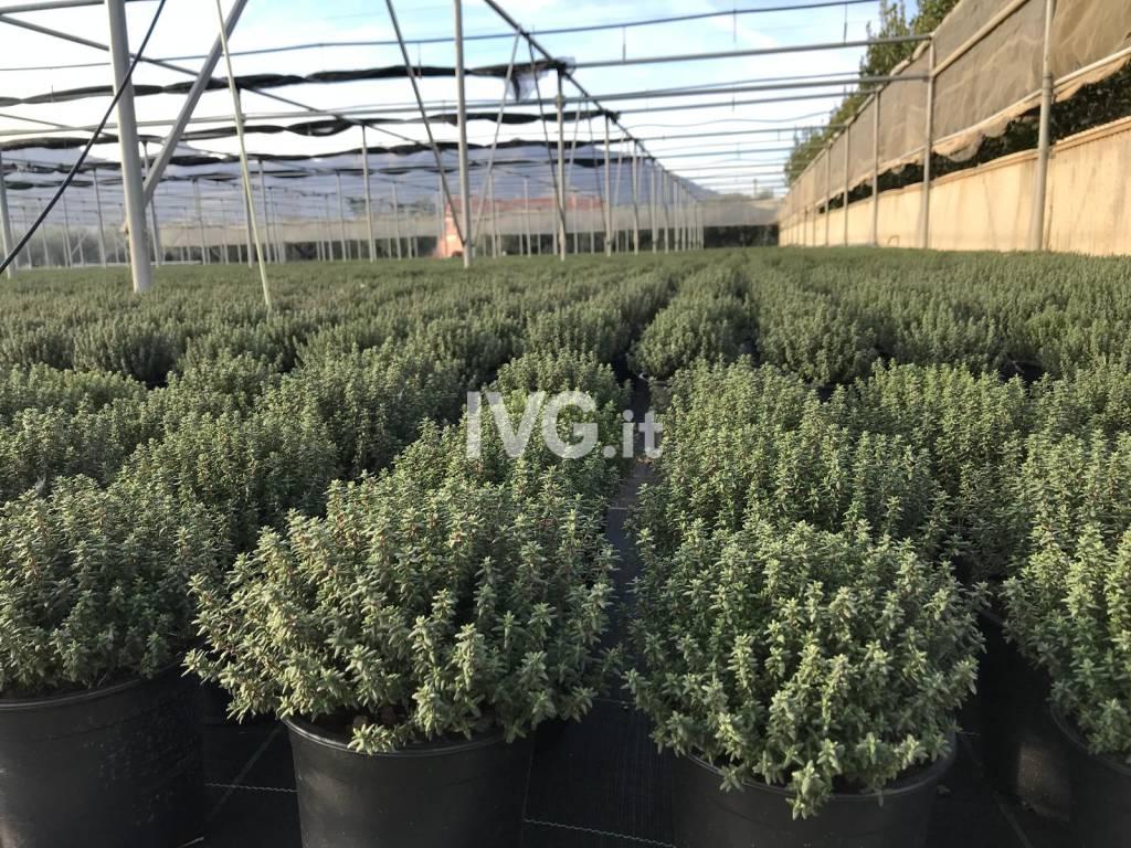 Piante aromatiche campi Albenga