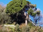 albero pericolante finalborgo