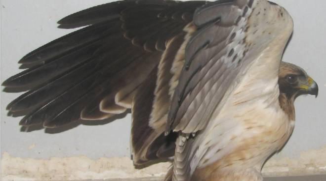 Aquila minore generica