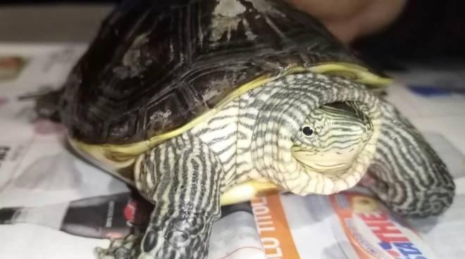 Tartaruga asiatica