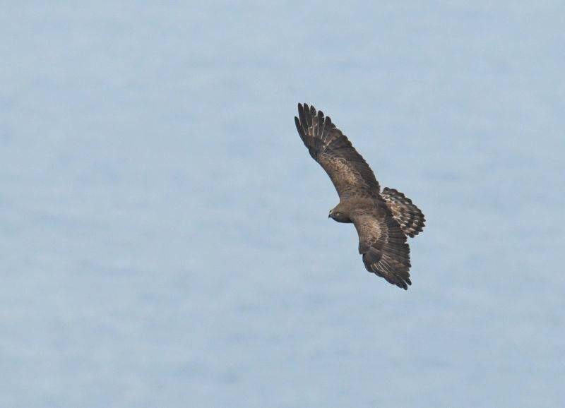 Biancone Day -migrazione rapaci birdwatching
