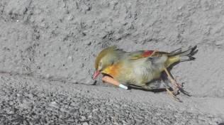 uccellini morti