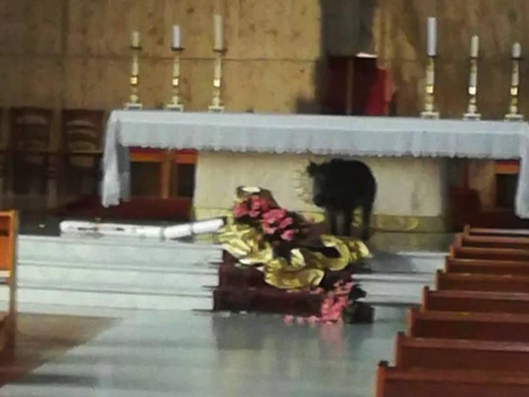 cinghiale in chiesa