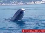 codamozza balena