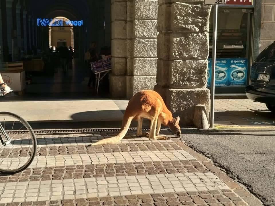 Savona, in centro città fa capolino un canguro