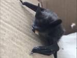 Rialto pipistrello ENPA