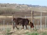 Cane scomparso Chicca Castelvecchio