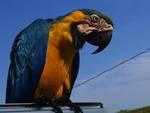pappagallo fuggiasco