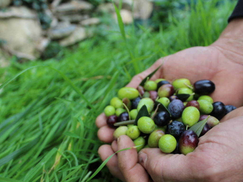 Olio - olive