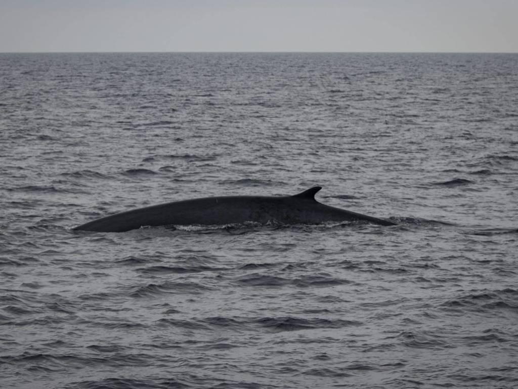 I cetacei del Santuario Pelagos danno spettacolo davanti a Loano