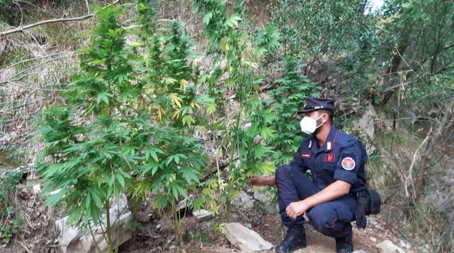 piantagione piante marijuana