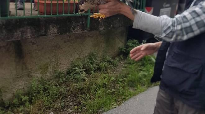 falco pellegrino salvato
