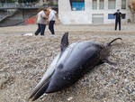 delfino spiaggiato Bergeggi
