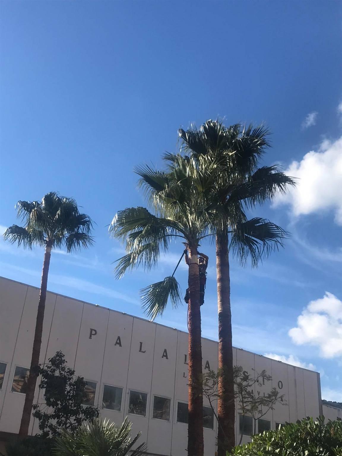 palme palma generica alassio