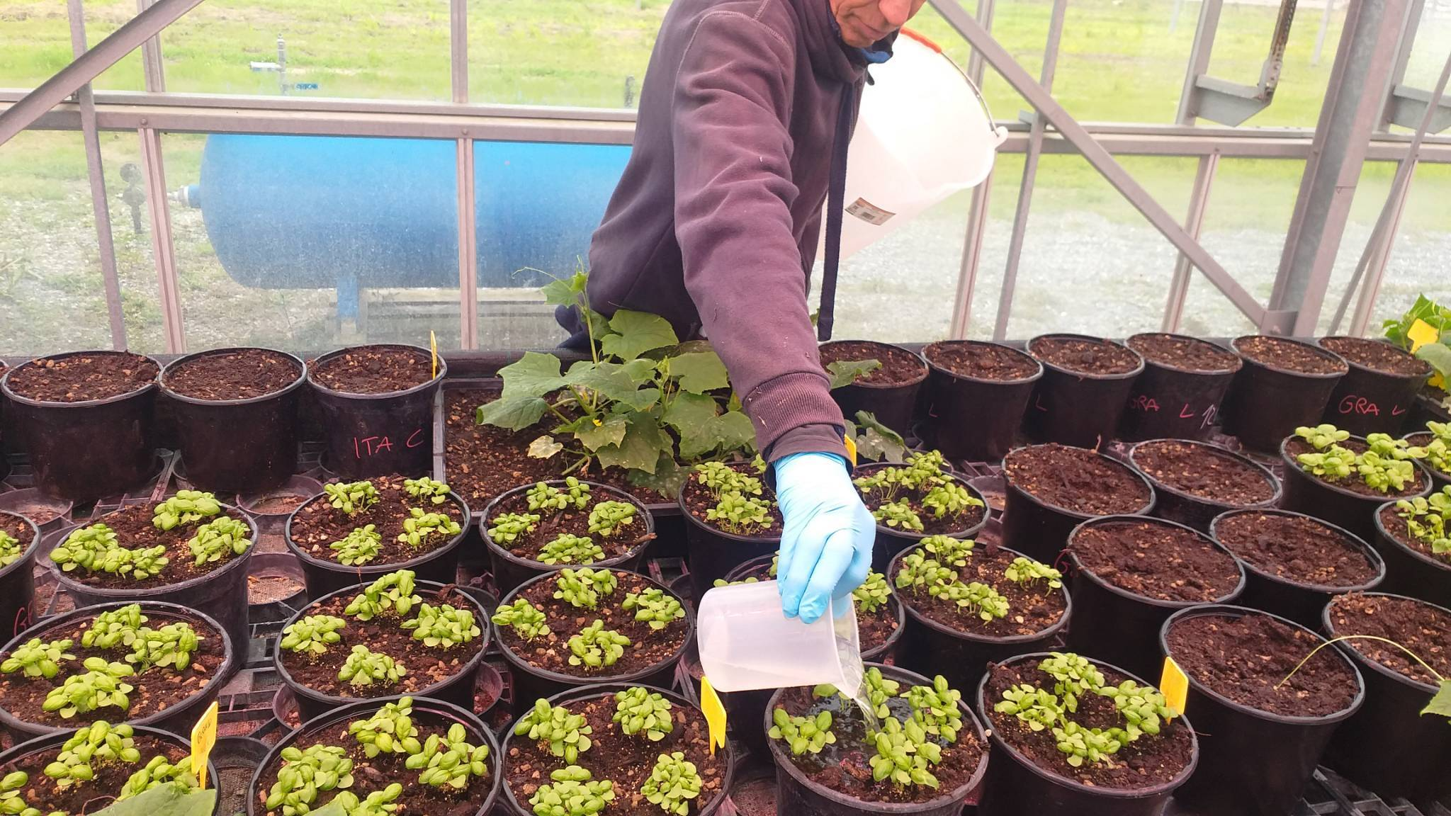 Cersaa piante in vaso