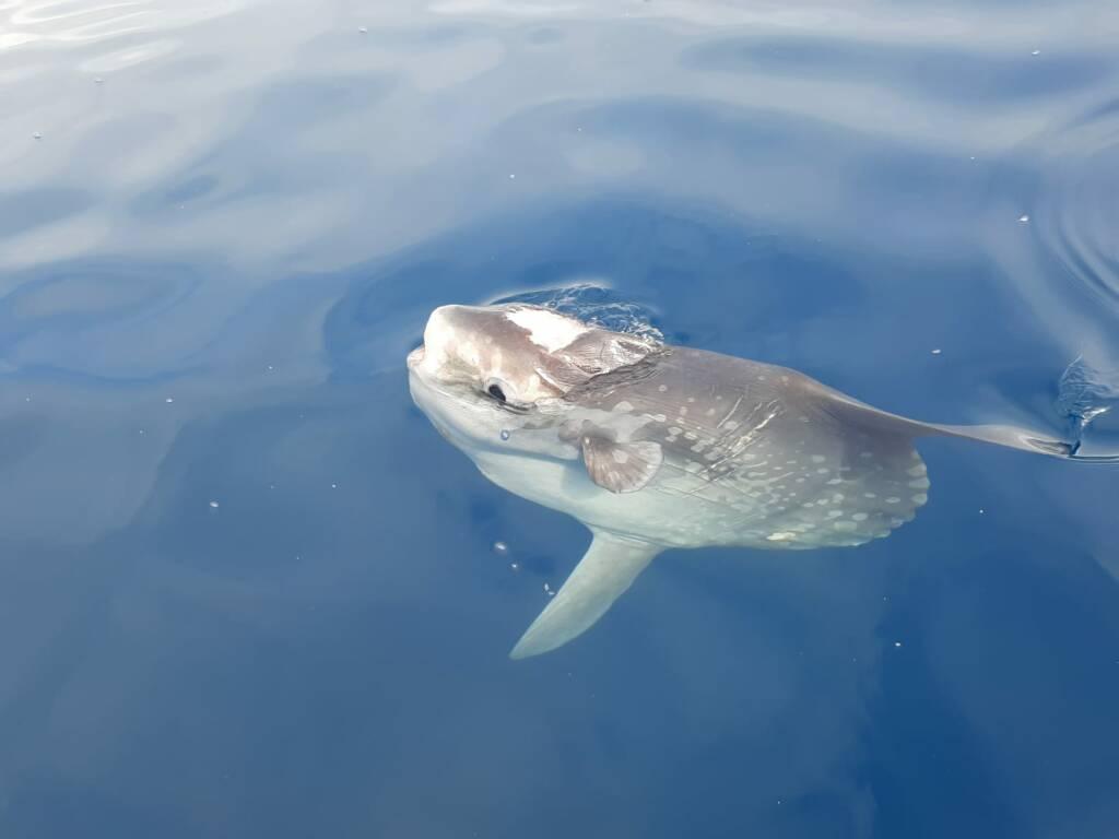 balenottere cetacei finale ligure pelagos