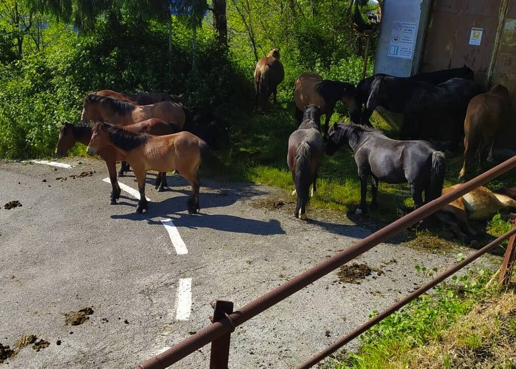 cavalli selvaggi a Bargagli