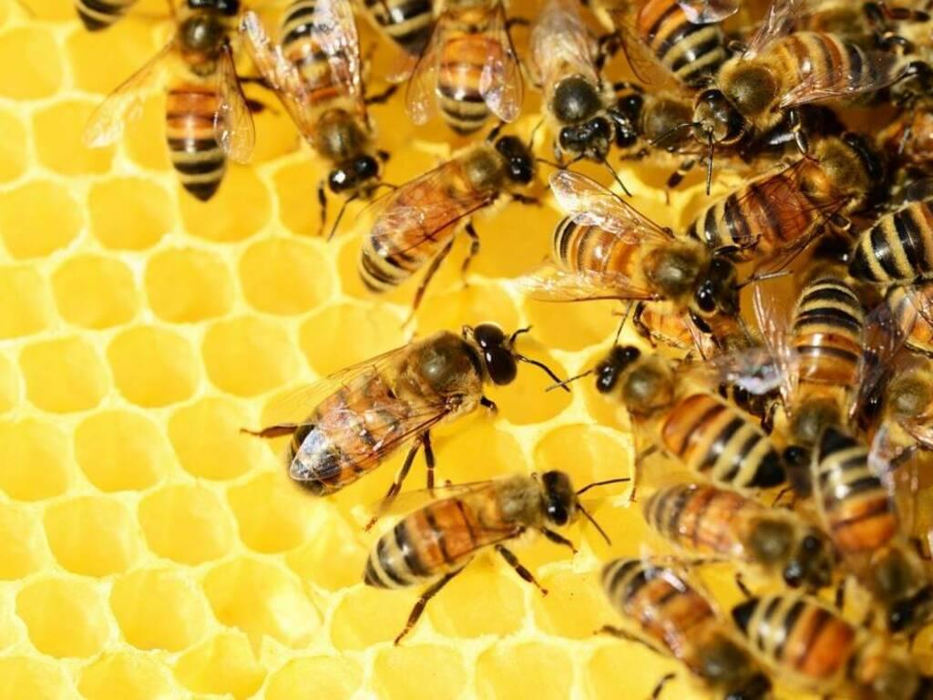 Api apicoltura