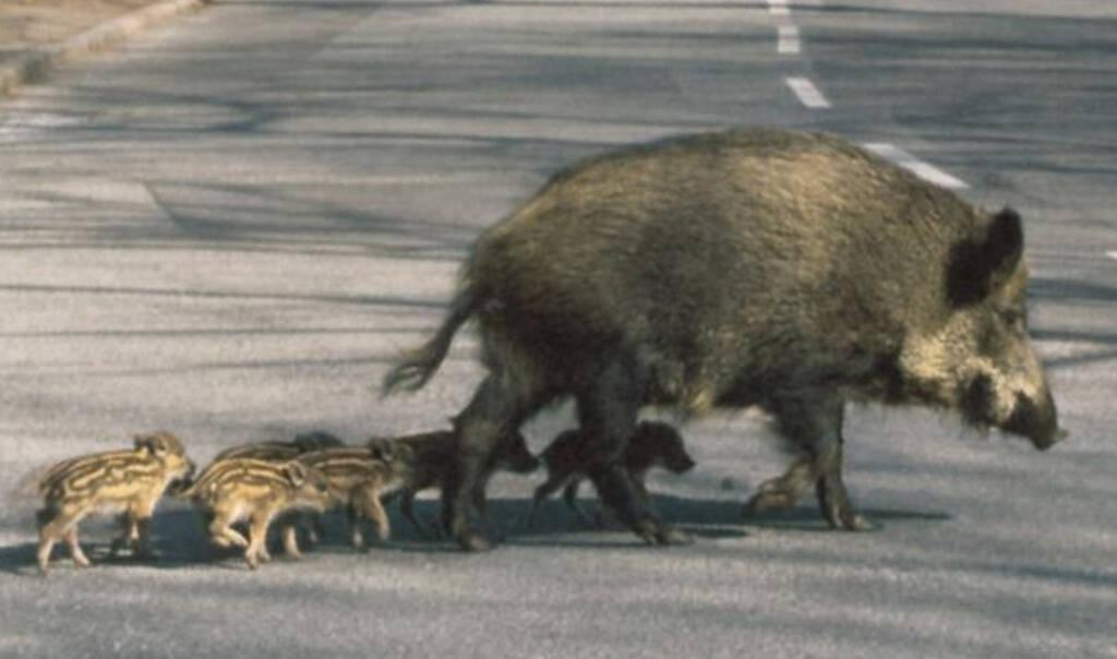 cinghiale mamma con i cuccioli