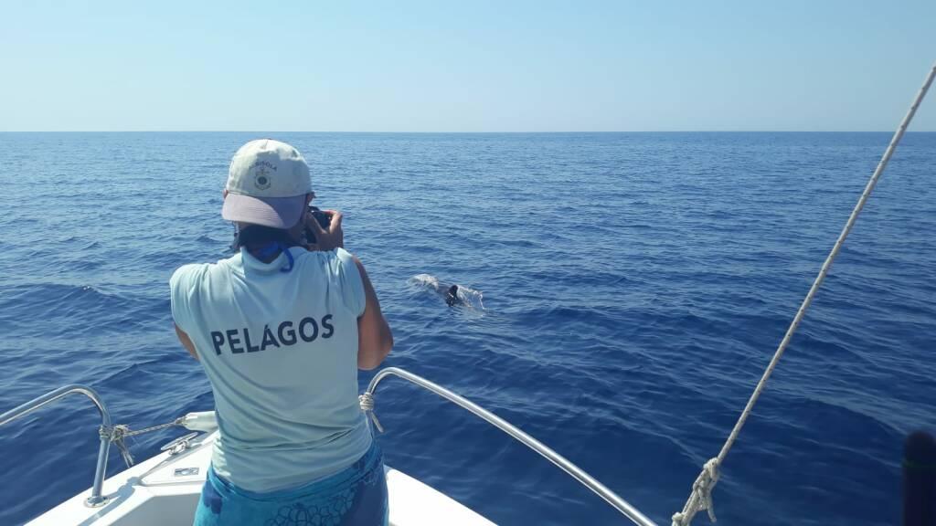 avvistamento zifio gruppo pelagos