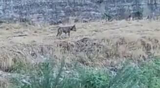 Lupo avvistato nel Bisagno